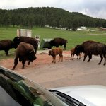 Bison jam on Wildlife Loop in Custer State Park