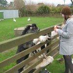 Many friendly goats