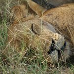 Lazy lion near the lodge