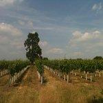 Stopham Estate vineyard 2