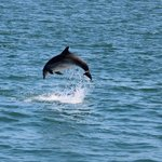 New Quay dolphins