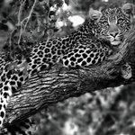 Leopard in Tree - Early morning safari