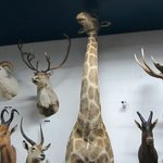 17 foot giraffe complete with front legs