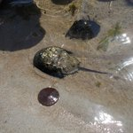 Sea life: horshoecrab, sand dollar, crab.
