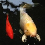 Koi swim by for Dinner !