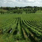 A view of the vineyard from the tasting room
