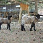 2 moutons dans la cour :)