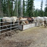 Just a few of Timberline's horses