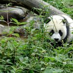 Cute baby panda, there were 9 babies when I was there