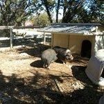 The Big Pig Pen for the Big Pigs