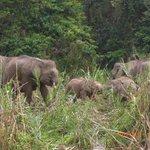 キナバタンガン川沿いの象集団