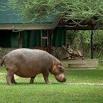 Hippo at Mvuu Camp