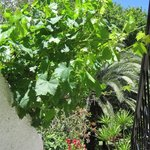 Grape vines and palms in the gardens