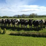 Cows with the Ballyhoura Mountains in the background - this is the view from the cottage!