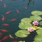 The koi pond and water lilies