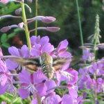 Sphinx moth on fireweed