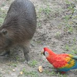 A capybara is greeted by one of the reserve's scarlet macaws.