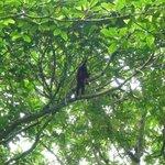 Mico monkey