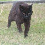 resident feline
