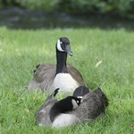 geese at the park