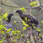 Very wet Chachalacas in a rainforest downpoor.