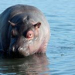 Young Hippo while on a Boat Safari on the St Lucia Estuary
