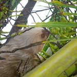 Sloth in our coconut tree