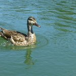 Duck swimming alongside the kayak