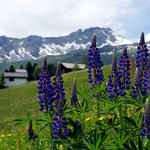 Hiking in Arosa in the summer; lots of mountain wildflowers in bloom.