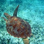 Gorgeous shot of a sea turtle while snorkeling at Tobago Cays