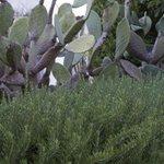 fichi d'india e erbe aromatiche
