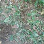 Elephant Dung on Trail
