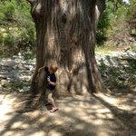 Big Tree by Creek