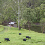 Our Brangus steers grazing by the dam