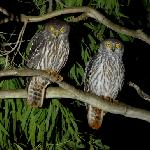 Here is a pair of Barking Owls that were hunting near the homestead