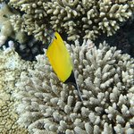 Local wildlife: longnose butterflyfish