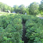 Rows and rows of organic raspberries.