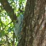 iguana subiendo un arbol