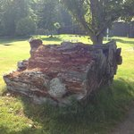 Remains of huge log from the old days.