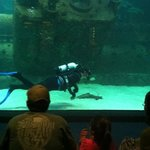 Diver in the shark tank