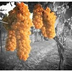 Grapes hanging from the vine at one of our vineyard partners