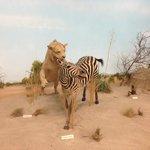 Africa Desert-Lion, Zebra