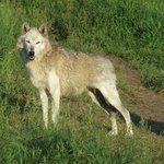 One of the gorgeous wolves