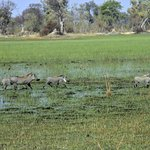 warthogs on the flooded plains