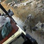 wonderful hyena encounter