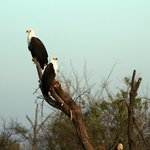 many African Fish Eagles in this area