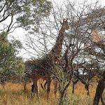 réveil par les girafes