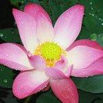 Цветёт лотос в отельном пруду