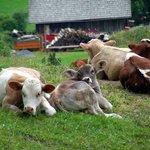 vitelli da guardia