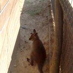 voici un bébé kangourou
